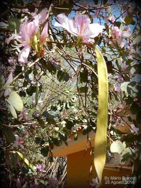 Fruto PATA-DE-VACA  - ( Bauhinia variegata )