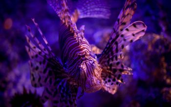 Wallpaper: Lionfish or Pterois
