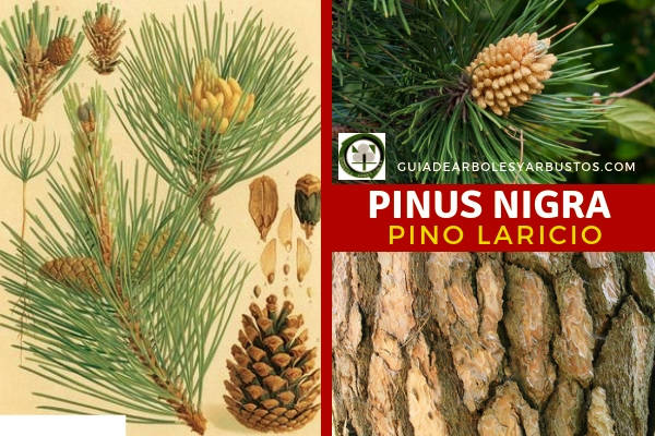 El árbol de Pinus nigra, pino laricio o salgareño  tiene piñas solitarias o verticiladas.