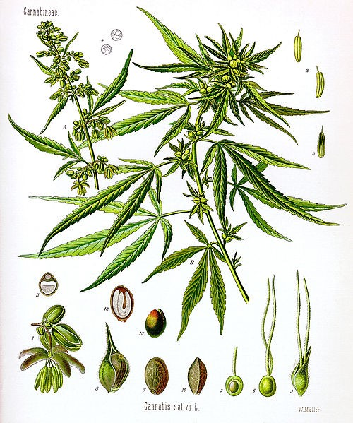 Plant anatomy and morphology | Industrial hemp USA