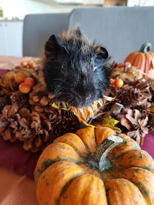 meerschweinchen-verstehen: Meerschweinchen Hope im Oktober 2017 Herbstfotoshooting ;)