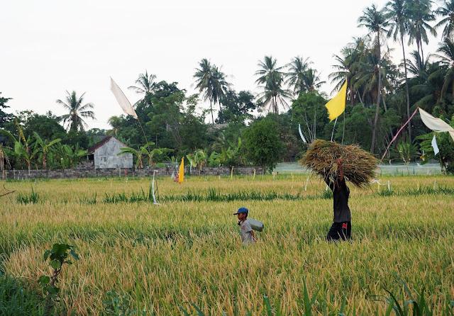 Arbeit auf den Reisfeldern von Bali