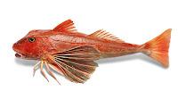 Bir kırlangıç balığının yandan görünüşü