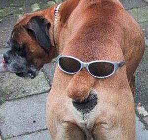 Perro, caraculo, gafas, nariz, boca