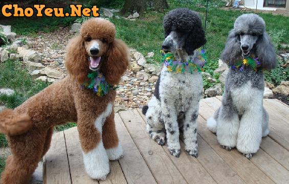 chó Poodle đẹp