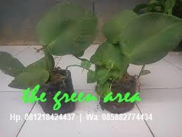 harga jual tanaman menjalar atau rambat pohon dollar daun besar harga murah