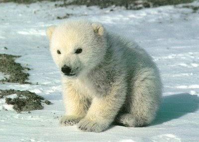 Rasta Lion Hd Wallpaper Polar Bears Global Warming Funny Animal