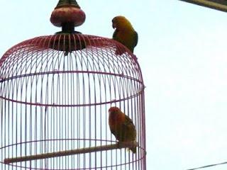 Burung Lovebird - Penyebab Burung Lovebird Lepas Dari Sangkarnya - Perawatan dan Penangkaran Burung Lovebird