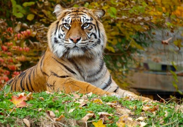 Les tigres 1301306155w8deD6Y%255B1%255D