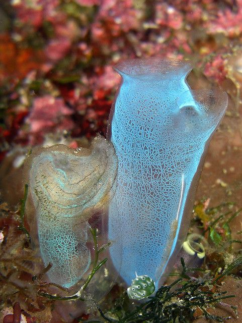 Tunicate Photo Collection