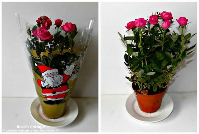 Perfect Christmas Miniature Roses...