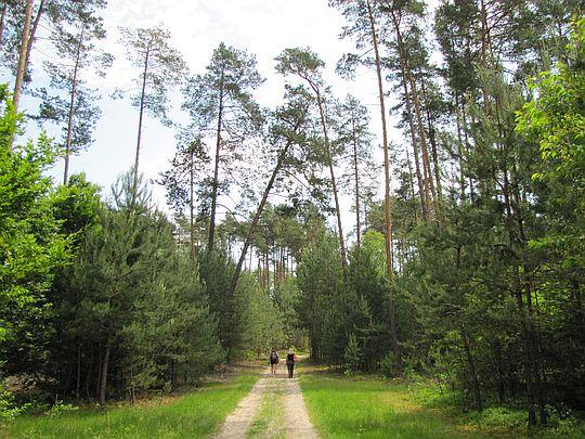 Przez las sosnowy.