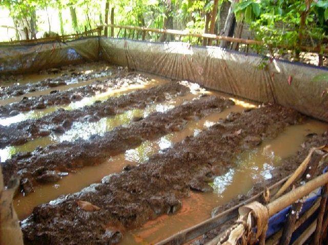 Habitat Ikan Belut