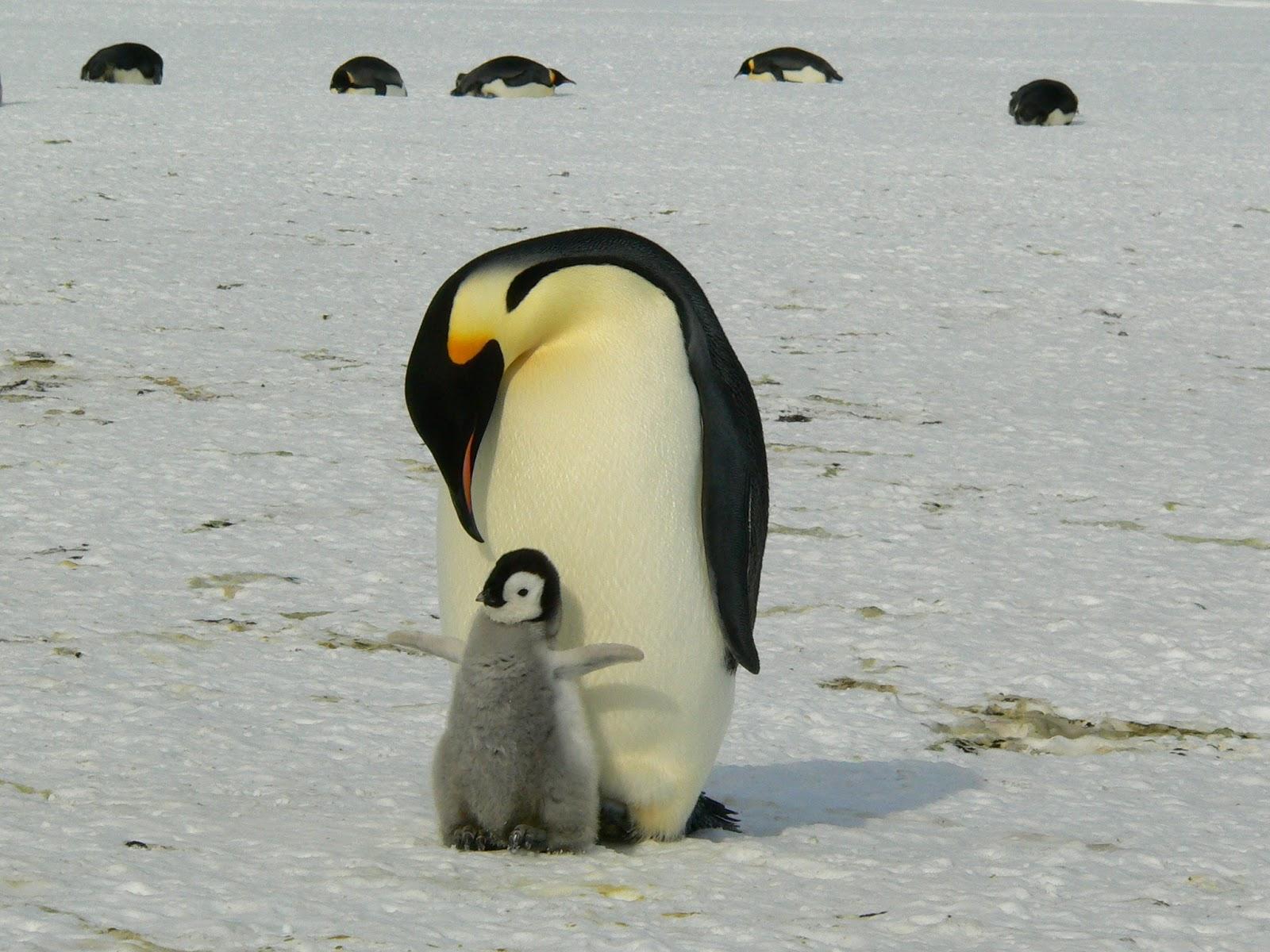 コウテイペンギンの親が足元で小さな羽を広げる子へ顔を下ろしている
