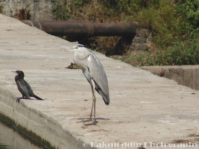 Grey Heron at Pashan Lake, Pune, Maharashtra, India