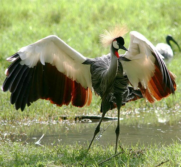 A crowned crane dancing near a marsh.