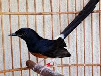 Obat Burung Murai Stress yang  Ampuh dan Mudah Didapatkan