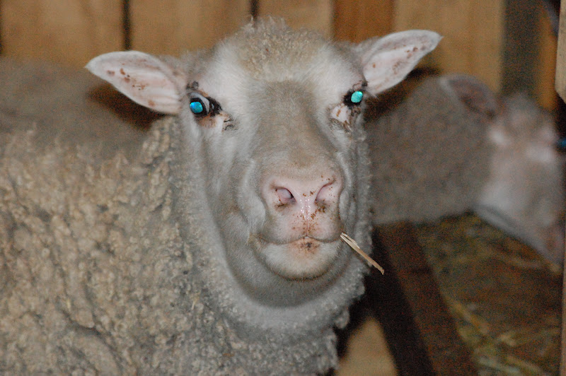 Little Hills Sheep Ranch: Sheep got bitten
