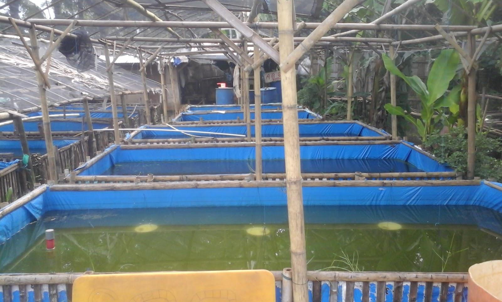 Contoh Isi Proposal Pengajuan Usaha Budidaya Ikan Lele Panimbang Online