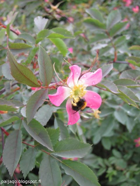 punalehtiruusu