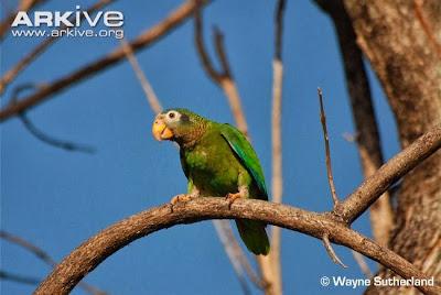 Amazona jamaiquina piquiclara: Amazona collaria