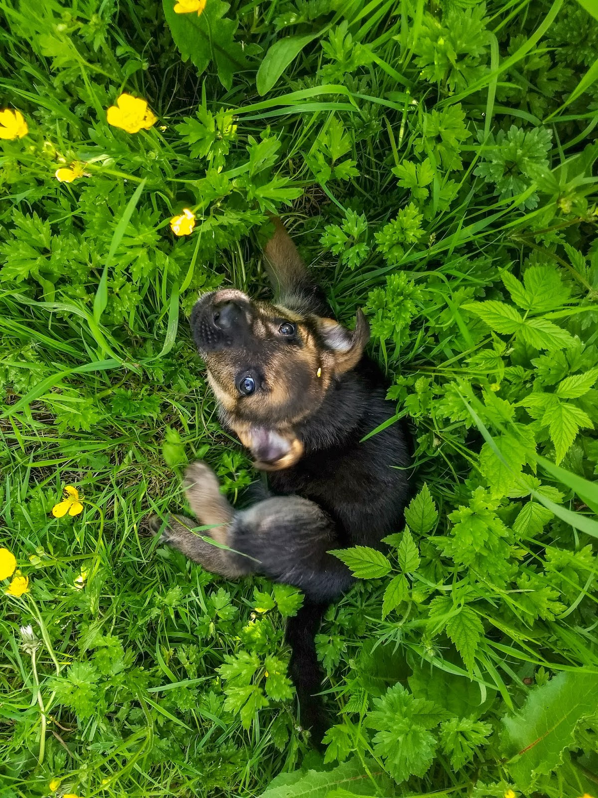 A German Shepherd puppy sits in the grass looking up at the camera.