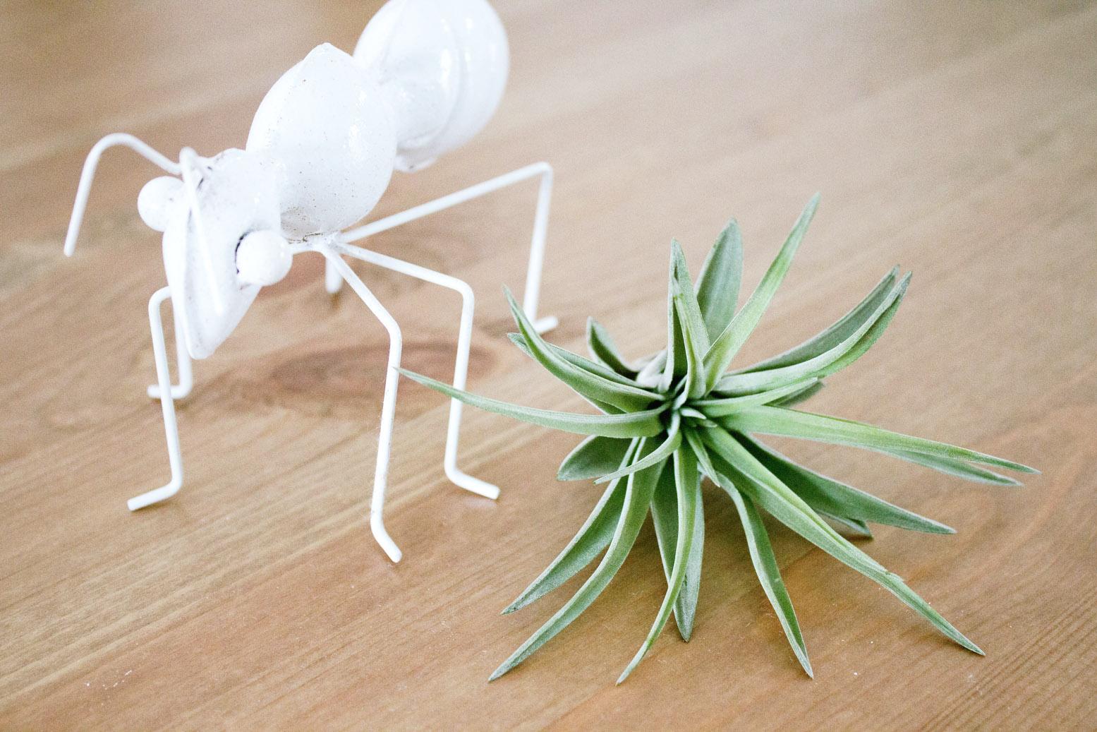 Tillandsia Brachycaulis planta de ar