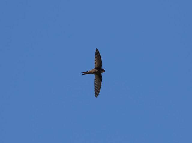 Plain Swift, Tenerife