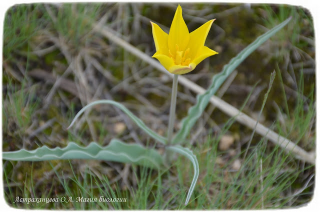 zagadki-pro-vesennie-cvety-dlya-detej-i-vzroslyh-magiya-biologii-алтайский-тюльпан