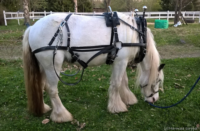 Irish mini cob with new work harness