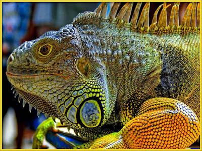 Iguana [Dipsosaurus dorsalis] Facts