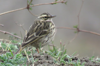 Olive-backed Pipits