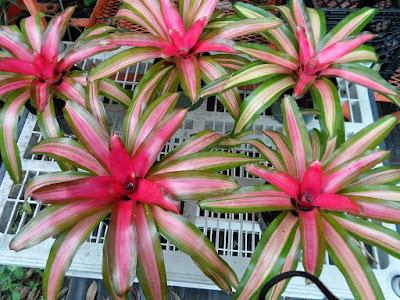 Jenis Tanaman bromelia tri color Untuk Taman Kering