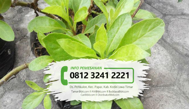 Jual Bibit Herbal Sambung Nyawa