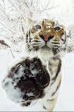 tigru siberian in zapada, de cealalta parte a unui zid de sticla, cu o ditamai laba pe sticla rece
