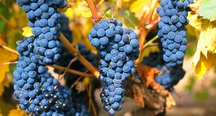 La cosecha de uva supera las previsiones y se cerrar en for En cuanto tiempo se cosecha la tilapia
