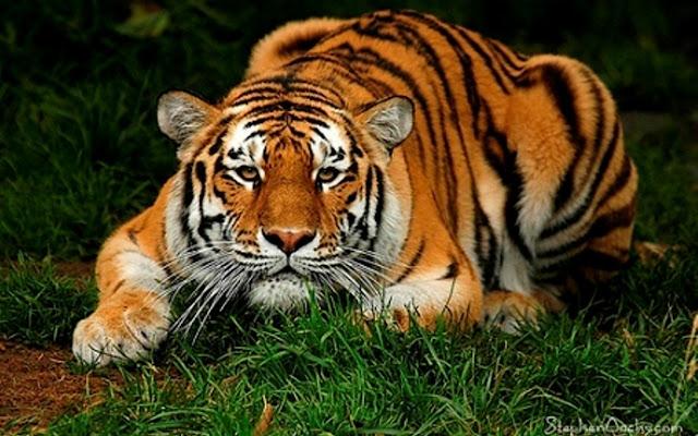 Crouching Tiger Sex