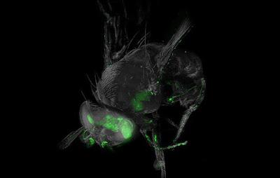 Drosophila head with fluorescent neuron clusters