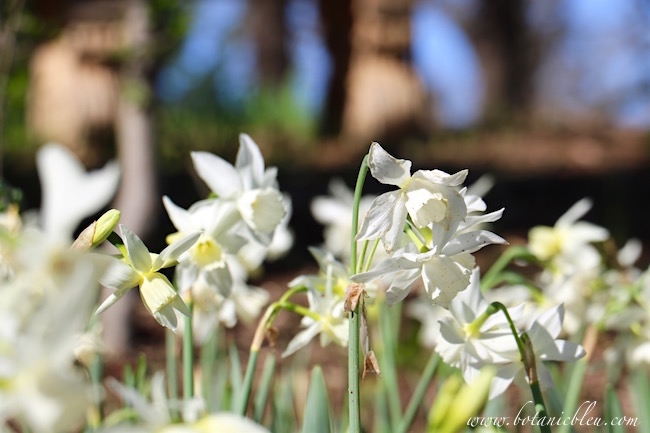 thalia-multiple-blooms-each-narcissus-bulb