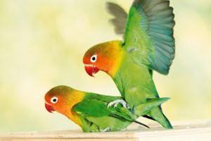 ternak lovebird, cara ternak lovebird