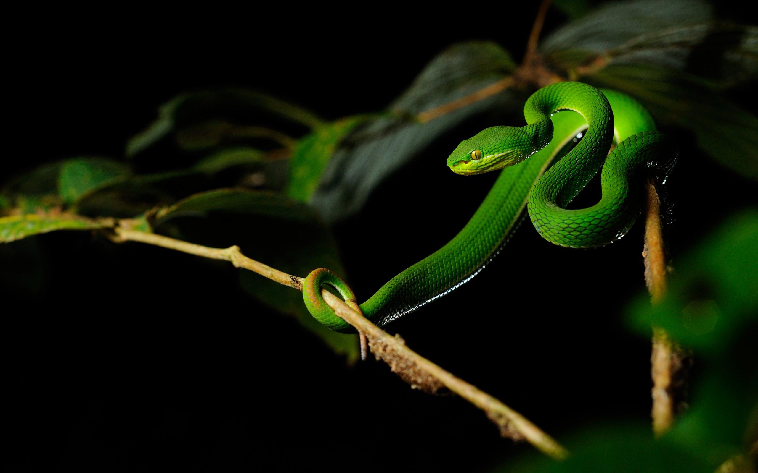 Pit viper snake wallpaper - photo#3