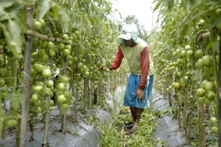 https://4.bp.blogspot.com/-Kfo53XdXSto/UZBWcMtDUeI/AAAAAAAAAGw/siE3tUoaBcM/s320/tomato+plants+care.jpg
