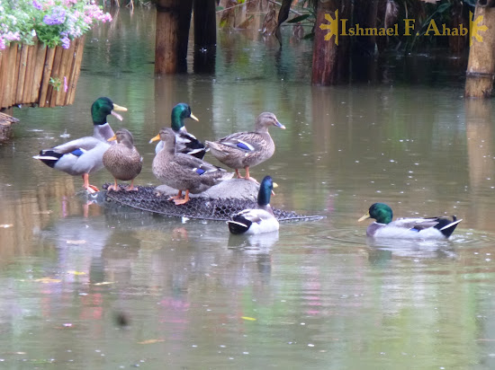 Ducks at the Doi Tung Royal Villa