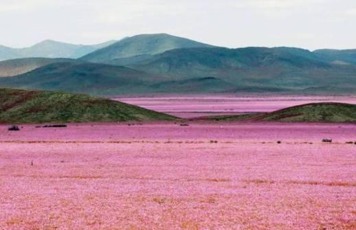 fenomena langka gurun menjadi lautan bunga di gurun Atacama di chile
