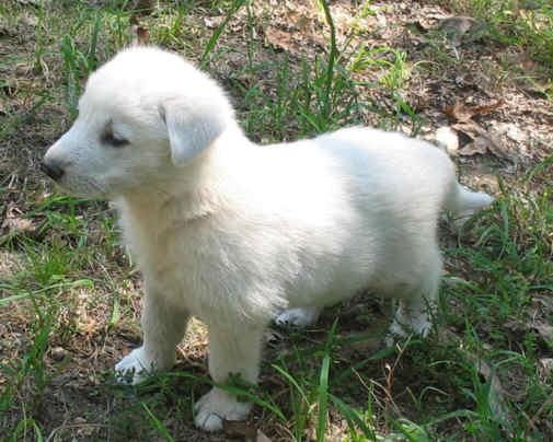 June 2012 Dog German Shepherds