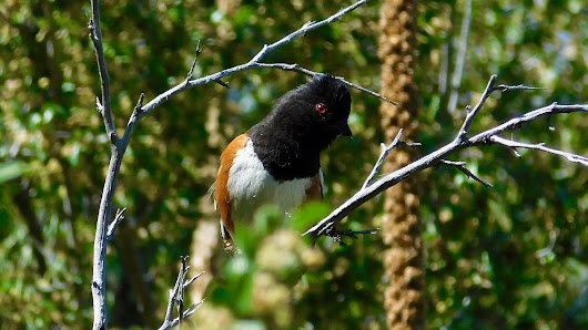 Spotted Towhee - A Hefty Sparrow