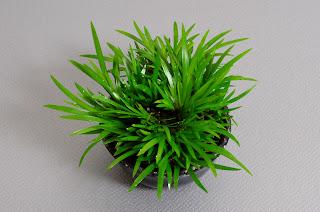 ヒメセキショウ-B1(姫石菖盆栽)Acorus gramineus bonsai