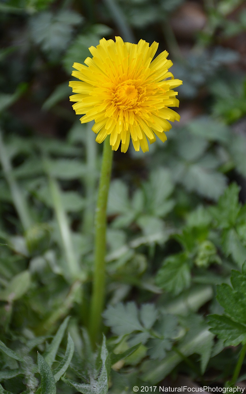 Natural Ways To Get Rid Of Weeds And Dandelions