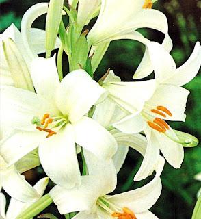 Azucenas blancas 3