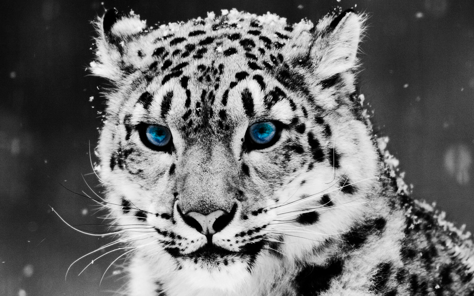 Wallpaper Collections: Snow Leopard Wallpaper